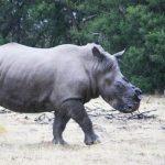Veterinários estão removendo chifres de rinocerontes para salvá-los de caçadores. Esta é a melhor solução?
