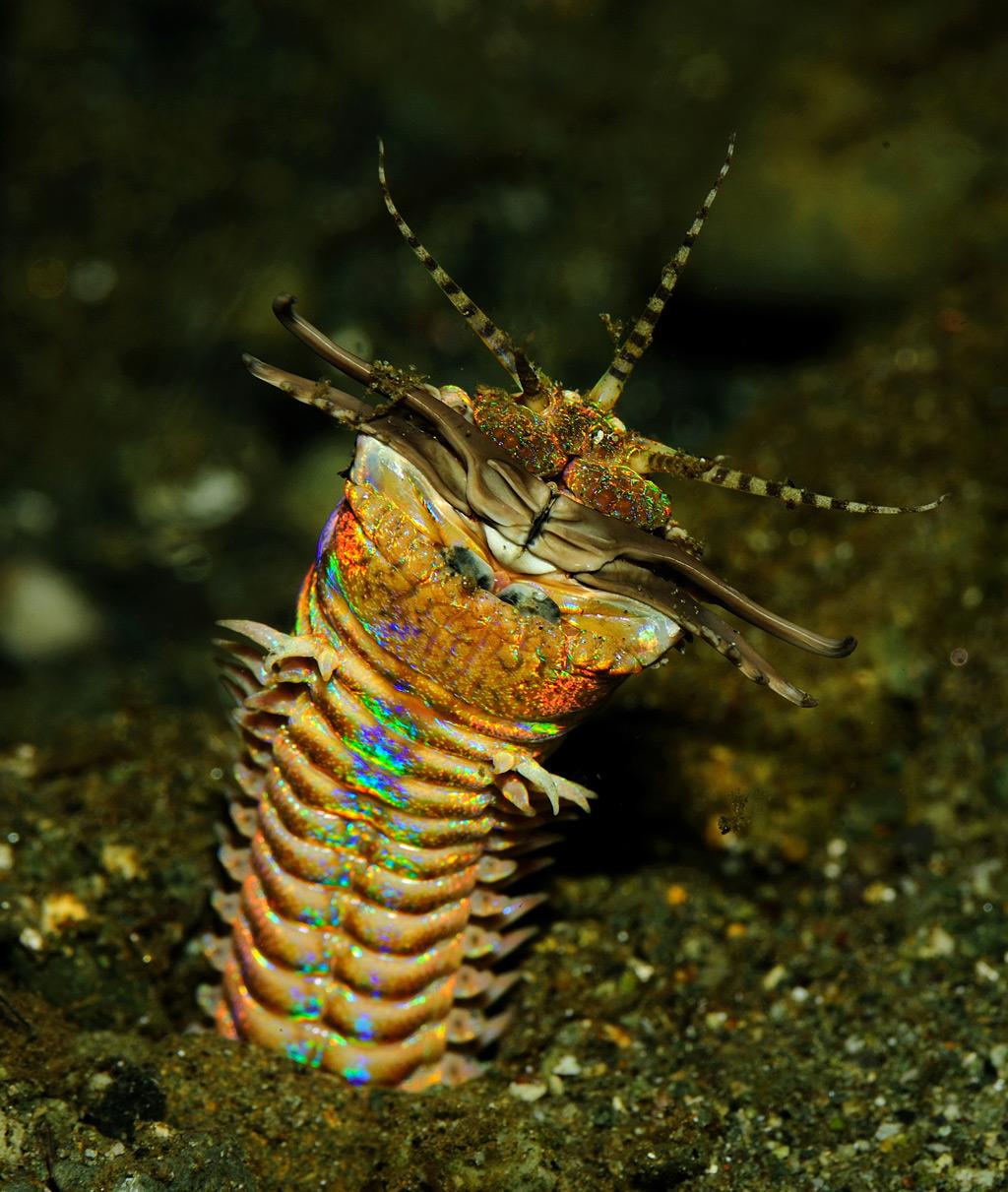 Eunice aphroditois, uma espécie de verme anelídeo (Jenny/Wikimedia)