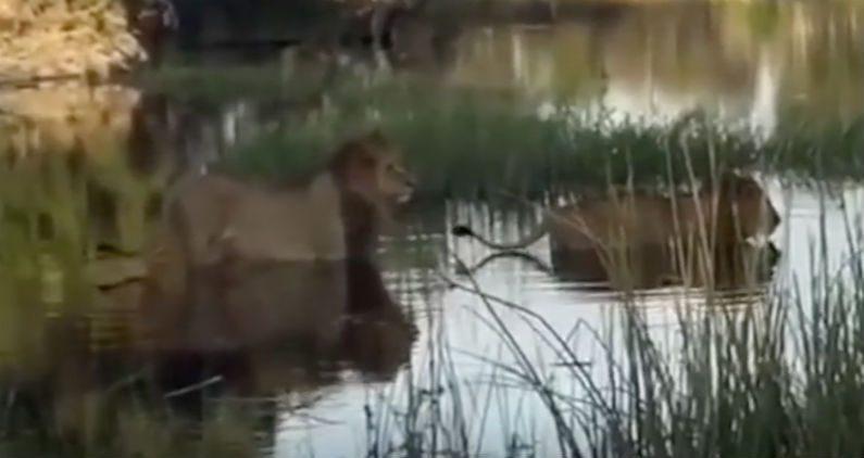 Leões cruzam cautelosamente um rio – mas um visitante inesperado causa tensão