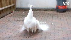 Pavão raro caminha lentamente e se vira – veja a mágica se revelar quando ele abre as penas da cauda