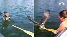 Família vê águia se afogando no lago – mas quando ela estende um remo, fica perigoso