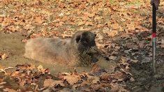 Ovelha é resgada de dentro de um buraco de lama – confira a coragem do dono na operação de salvamento