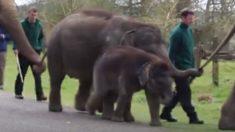 Este bebê elefante é pego sonhando acordado, mas veja o que está por trás dele