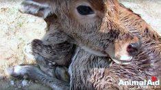 Bezerro recém-nascido é abandonado ainda com o cordão umbilical – observe quando ele receber a primeira garrafa de leite