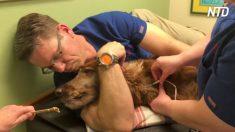 Cachorro doa sangue e salva mais de 180 vidas de companheiros por anos