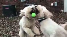 Bola é jogada em direção a dois cachorros, mas quem será que fica com ela - é ainda melhor em câmera lenta