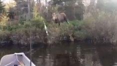 Alce está desesperado para salvar filhote que caiu em lago