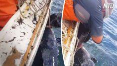 Tartaruga gigante ferida por uma corda é salva por pescadores