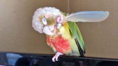 Papagaio genial usa pena para se coçar