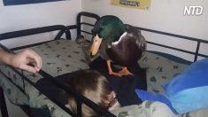 Pato vira guarda-costa de menino dorminhoco – o que ele faz para defendê-lo é hilário