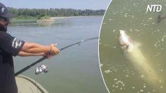 Homem vai pescar no rio Po e pega um esturjão quase tão grande quanto ele