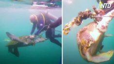 Mergulhadores encontram tartaruga desesperada e presa em uma rede de pesca – os próximos momentos são intensos