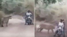 Tigres cercam homens que estavam andando de moto