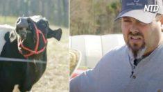 Vaca chora sentindo falta de seu filhote, então uma mulher resolve ajudá-la a recuparar seu bezerro