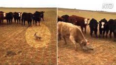 Ganso destemido se depara com um rebanho de vacas agressivas – quem reivindicará a vitória?