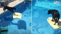 Mulher joga bola de tênis na piscina e cachorro tenta resgatá-la sem se molhar