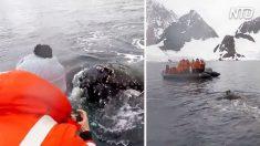 Antártica – baleias se aproximam de turistas em península polar