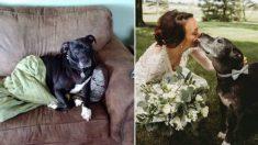 Pit bull com câncer terminal participa de casamento antes de falecer