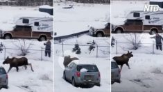 Homem chama alce na neve e algo inesperado acontece