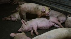 Pequenos produtores chineses enfrentam enorme desafio na batalha contra a febre suína