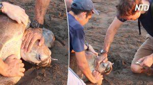 Biólogos retiram garfo de plástico preso em nariz de tartaruga