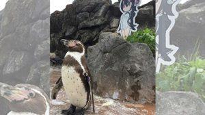Pinguim de 21 anos falece ao lado de sua amada personagem anime de papelão