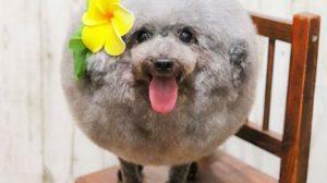"""Cão fofo se transforma em """"bola saltitante"""" depois de mudança no visual"""