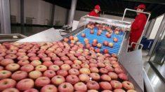 Produtora chinesa de sucos usa maçãs podres em produtos para exportação, diz mídia chinesa