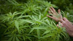 Justiça autoriza cultivo de cannabis para tratamento de fibromialgia
