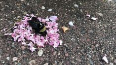 """Formigas cercam abelha morta com flores em bizarro """"ritual"""""""