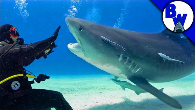 Coyote Peterson mergulha com tubarões-tigre nas Bahamas