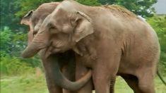 Dois elefantes se reencontram após 20 anos e deixam todos em lágrimas