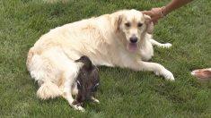 Cão carinhoso se torna mãe de pato órfão