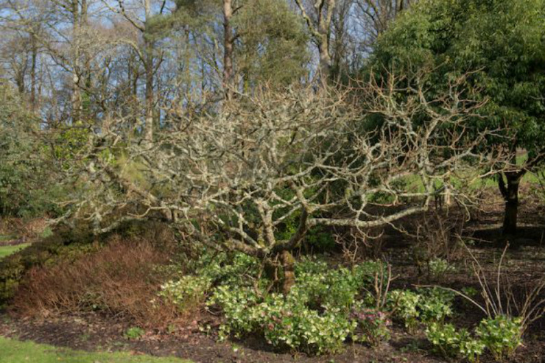 Árvore de zumaque ou noz chinesa (Rhus chinensis) coberta de líquens e cercada por Hellebores (Helleborus) no inverno em um pomar na zona rural de Devon, na Inglaterra, Reino Unido (Shutterstock)