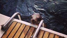 Leão-marinho ferido e desesperado pede ajuda em barco
