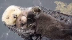 Filhote de lontra tenta dormir boiando na barriga da mamãe