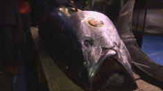 Atum é vendido por US$ 3 milhões no novo mercado de peixe de Tóquio