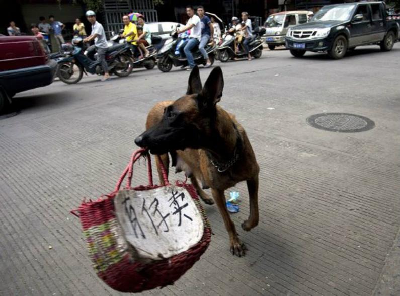 """Ativistas dos direitos dos animais usam um cachorro que carrega uma cesta para transportar uma mensagem em chinês: """"Eu tenho um filho para vender"""" ao longo de uma rua em Yulin, na província de Guangxi, no sul da China, em protesto contra o festival anual de carne de cachorro realizada em 21 de junho de 2015 (STR/AFP/Getty Images)"""
