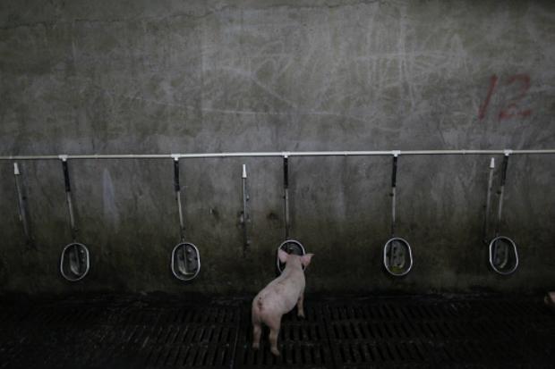Porco bebendo água em um chiqueiro (Paul Zhang/Getty Images)