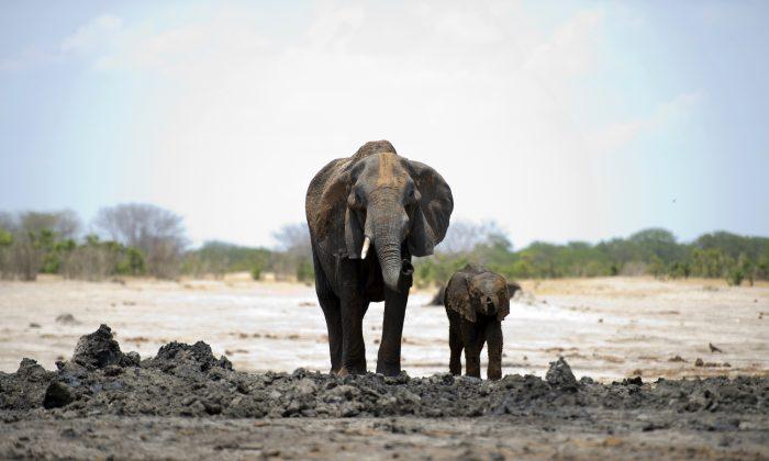 Ativistas protestam contra planos do Zimbábue de exportar elefantes para China