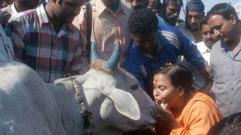 Região da Índia destina 70 milhões de euros para proteger vacas sagradas