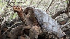 "Tartaruga considerada ""extinta"" é reencontrada em Galápagos após 100 anos"