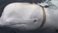 Baleia beluga encontrada com arnês russo alarma militares noruegueses