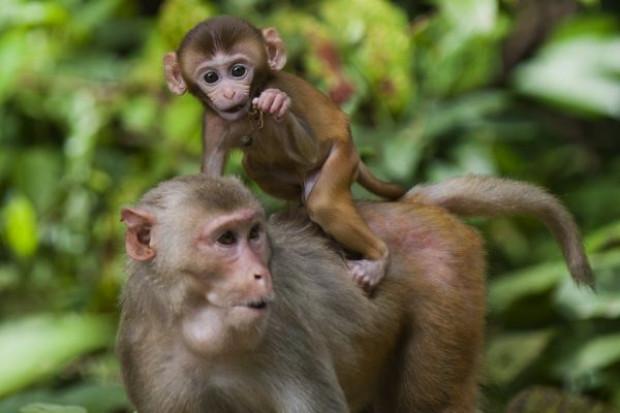 Macaco rhesus leva seu bebê nos braços no Parque Nacional de Hlawga em Mingaladon (Ye Aung Thu / AFP / Getty Images)