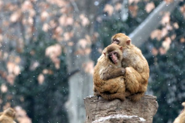 Dois macacos rhesus se abraçam na neve no zoológico de Zhengzhou em 27 de janeiro de 2018 em Zhengzhou, província de Henan, China (Foto por VCG / VCG via Getty Images)