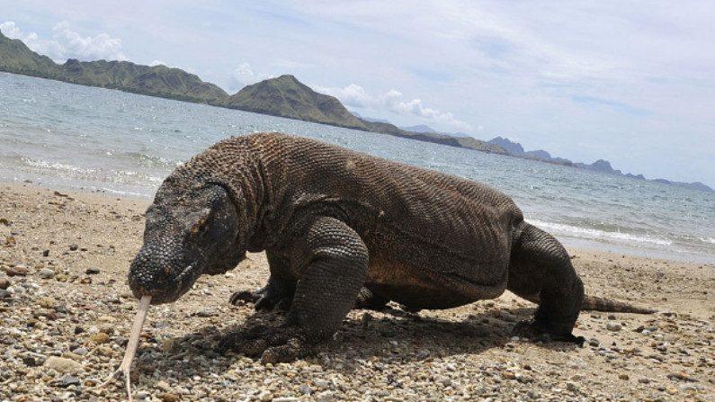 Ilha de Komodo é fechada porque as pessoas continuam roubando seus terríveis dragões
