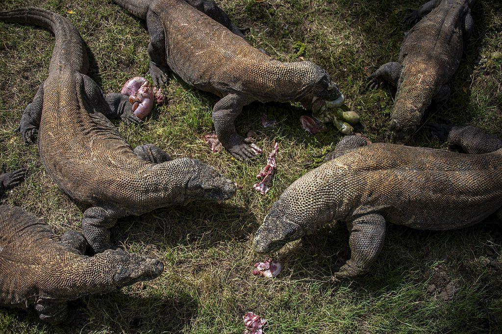 Dragões de Komodo são alimentados por trabalhadores do zoológico de Surabaya, na cidade de Surabaya, província de Java Oriental, em 5 de junho de 2015 (JUNI KRISWANTO / AFP / Getty Images)