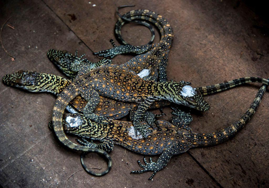 Filhotes de dragão de Komodo de 4 dias de idade no zoológico de Surabaya, província de Java Oriental, em 17 de março de 2018 (JUNI KRISWANTO / AFP / Getty Images)