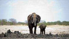 Elefante mata soldado britânico durante operações anti-caça furtiva