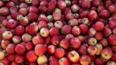 Coma as sementes: germes encontrados dentro das maçãs podem ser bons para você
